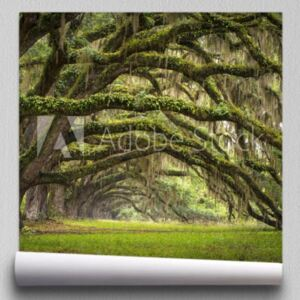 Fototapeta Oaks Avenue Charleston SC plantacja Live Oak trees forest
