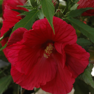 Hibiscus ogrodowy donica